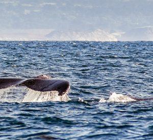 Kommentar: Når hvalerne slås bliver rejerne ædt